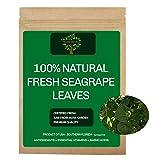 Fresh Seagrape Leaves BayGrape Coccoloba Uvifera Sea Grape for Tea Organic South Florida (MovaGarden) Small Sample Pack