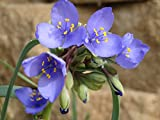Tradescantia ohiensis Ohio Spiderwort 50 Seeds
