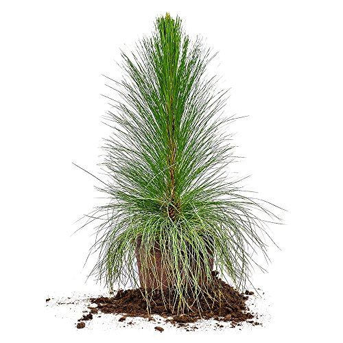 LONGLEAF Pine - Size: 3 Gallon, Live Plant, Includes Special Blend Fertilizer & Planting Guide