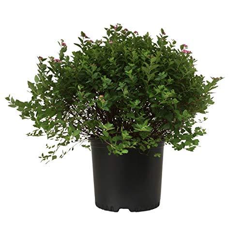 Premier Plant Solutions 02072 Little Princess Spirea, 3 Gallon, Pink