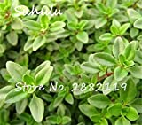 Lemon thyme Herb Seeds 200sesds/bag organic vegetable Seeds Thymus Citriodorus Mosquito Repelling Creeping