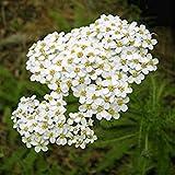 Herbal Yarrow (Achillea millefolium L) Medicinal Plant Heirloom Seeds, Powerful Remedy