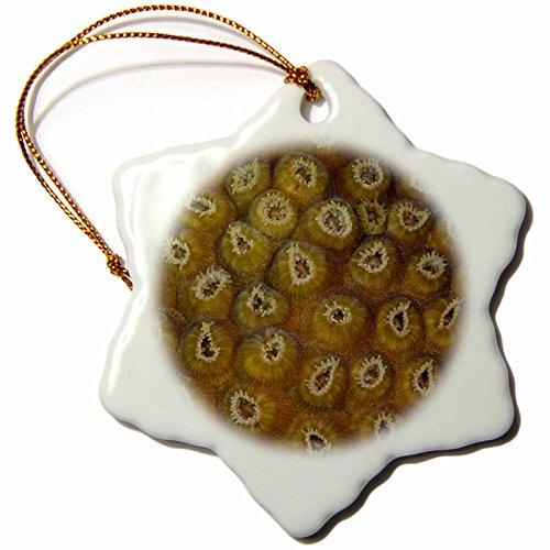 3dRose Danita Delimont - Marine Life - Star Coral Polyp marine life, Sian Kaan, Mexico - SA13 POX0144 - Pete Oxford - 3 inch Snowflake Porcelain Ornament (orn_86751_1) (Coral Polyp Star)