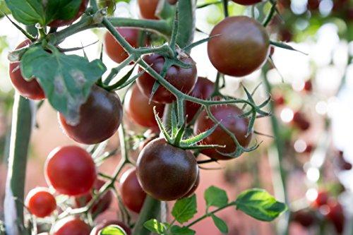- Clovers Garden 2 Black Prince Tomato Plants Live - 4