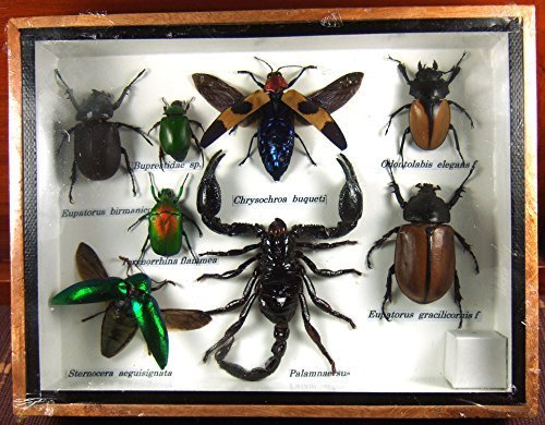 Real Display Insect Taxidermy Small Set in Box for