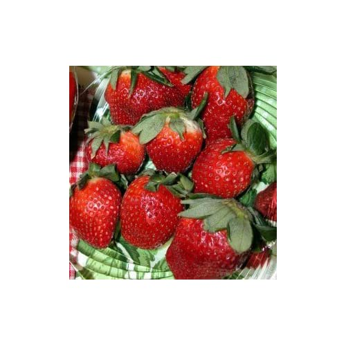 Hot Jewel Strawberry Fruit Plant Seed 100 Stratisfied Berry Plant Seeds for sale