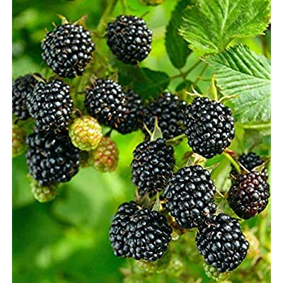 Live Plant BlackBerry Sweetie Pie Thornless Rubus Fruticosa Fruit Plant Graga01 : Garden & Outdoor