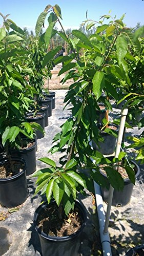 Rainier Cherry Tree Shipped in Soil, Five Gallon Container