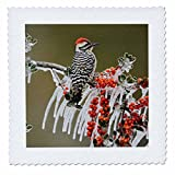 3dRose Danita Delimont - Birds - Ladder backed Woodpecker on icy branch of Holly, Hill Country, Texas - 20x20 inch quilt square (qs_279533_8)