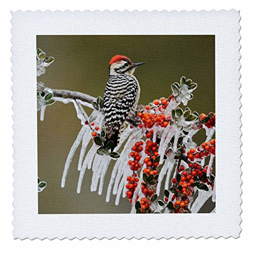 3dRose Danita Delimont - Birds - Ladder backed Woodpecker on icy branch of Holly, Hill Country, Texas - 20x20 inch quilt square (qs_279533_8) by 3dRose (Image #1)