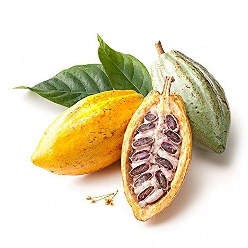 Trenton 40Pcs Cocoa Fruit Seeds Tree Germination Fresh Home Garden Plant - Cocoa Fruit