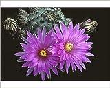 Photographic Print of Flowering hedgehog cactus. Echinocereus pulchellus amoenus