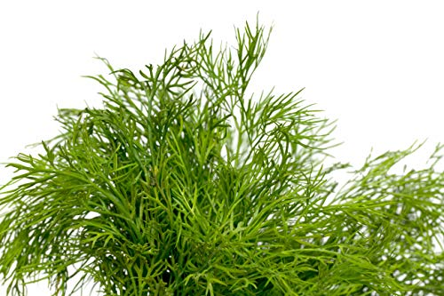 RDR Seeds 100 Dill Seeds - Bouquet Dill Anethum Graveolens - Seed Dill Weed