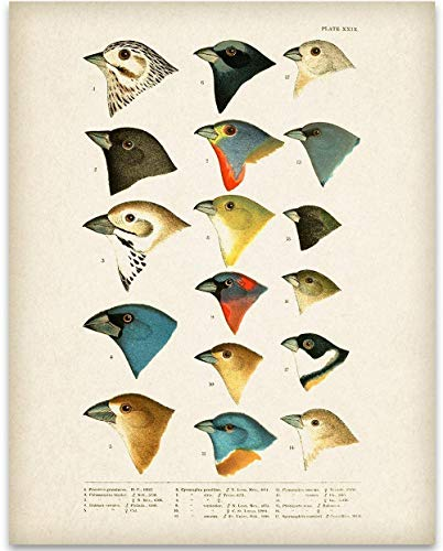 1905 North American Birds Illustration - 11x14 Unframed Art Print - Great Home Decor and a Great Gift for Bird Watchers, Also Makes a Great Gift Under $15 ()