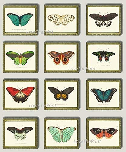 (Butterfly Print Set of 12 Prints Antique Art Beautiful Colored Colorful Aqua Red Green Ivory Background Natural Science Summer Garden Nature Home Room Wall Decor Unframed NODD)
