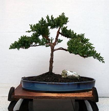 Traditional Karate Kid Style Juniper Bonsai Tree In Amazing Japanese Bonsai Glazed Pot Amazon Com Grocery Gourmet Food