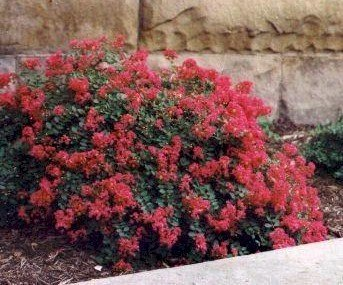 BATON ROUGE Patented Miniature Crape Myrtle, Pack of 5, Deep Red, Matures to 3'-4'( Shipped 1'-1.5' Tall, Well Rooted in Pot with Soil) by The Crape Myrtle Company (Image #1)
