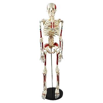 3B Scientific Kunststoff-Skelett, flexibel, mit Muskeln und Bändern ...