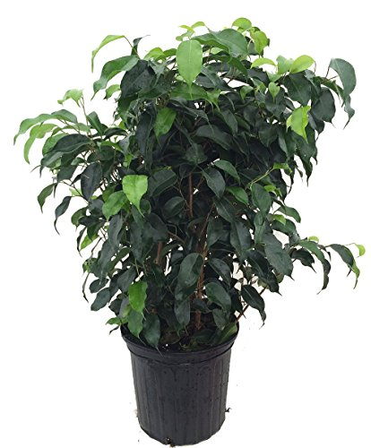 Wintergreen Weeping Fig Tree - Ficus - Great Indoor Tree for Low Light - 8