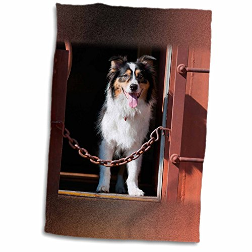3drose-danita-delimont-dogs-australian-shepherd-in-a-train-car-12x18-towel-twl-230324-1