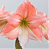 Amaryllis Bulb Pink Amaryllis Tinkerbell - 26/28cm Bulb - Outstanding Indoor Blooms | Ships from Easy to Grow TM