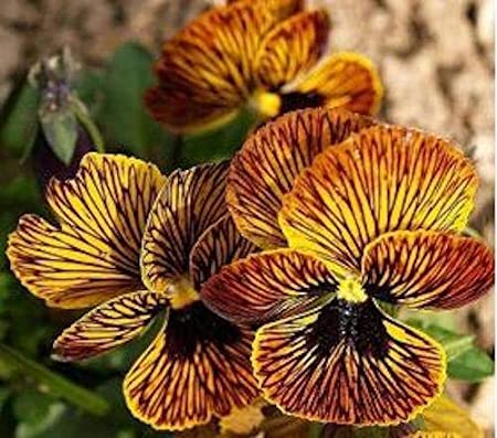 PERENNIAL PANSY 20+  VIOLA TIGER EYE RED FLOWER SEEDS RARE NEWLY BRED SERIES