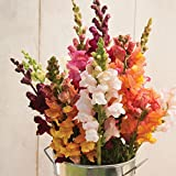 David's Garden Seeds Flower Snapdragon Costa Mix SL1679SV (Multi) 50 Non-GMO, Hybrid Seeds
