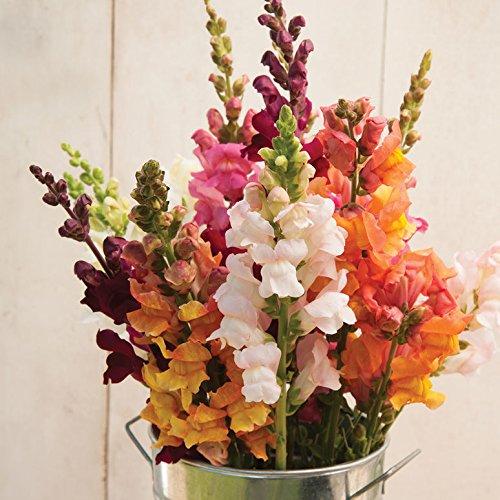 (David's Garden Seeds Flower Snapdragon Costa Mix SV1679 (Multi) 50 Non-GMO, Hybrid Seeds)