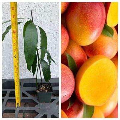 1 Mango Haden Tropical Fruit Tree Plant : Garden & Outdoor