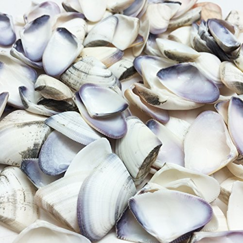 PEPPERLONELY Purple and White Donax Clam Sea Shells, 8 OZ Approx. 100+PC Shells, 1 Inch ~ 1-1/2 Inch