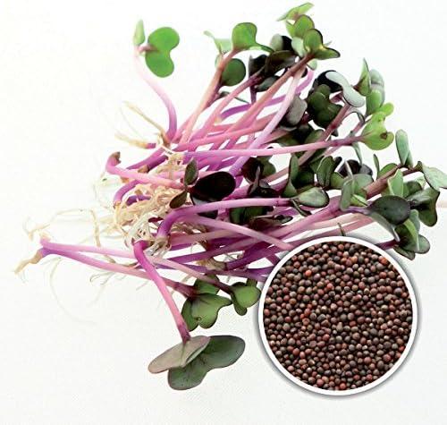 100 g BIO Keimsprossen Rosa Kohlrabi Samen für die Sprossenanzucht Sprossen Microgreen Mikrogrün