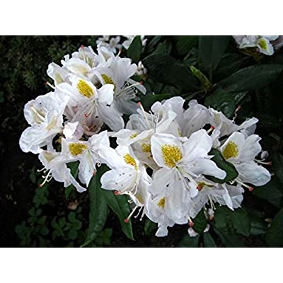 """Rhododendron Madame Masson - White Bloom with Yellow Throat - Grows Five Feet Tall - 8"""" to 12"""" Wide Plant – Typically Two Gallon : Garden & Outdoor"""