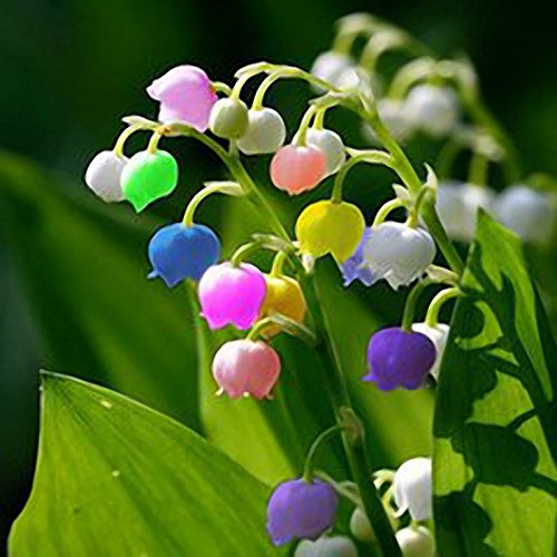 Valley Lily Of The (Lily of Valley Flower Seeds - 50 PCS Rare Lily of Valley Flower Seeds Colored Rainbow Bell Orchid Seed Garden Bonsai)