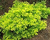 1 Live Plant Duranta Gold Mound #JP11