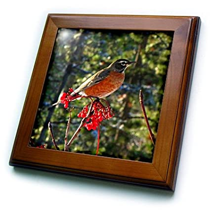 3dRose ft/_16888/_1 Robin in The Mountain Ash Tree 1 Framed Tile 8 by 8