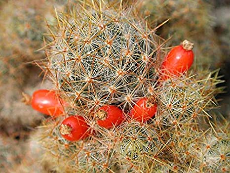 Amazon.com: Shining Caballero Cactus terrario Llavero ...