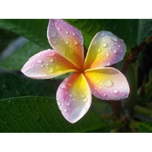 """MARINOS-RAINBOW"" FRAGRANT PLUMERIA'S CUTTING WITH ROOTED 6-12 INCHES WITH CERTIFICATION AND REGISTERED TRACK ONLINE , LIMITED SEASON"