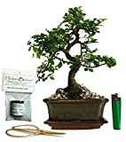 chinese elm basic indoor/outdoor bonsai tree gift set (ce15sg)
