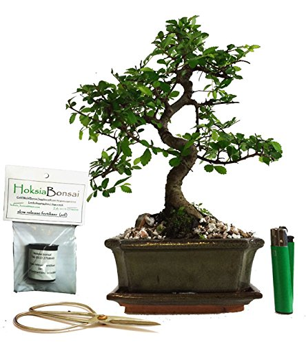 chinese elm basic indoor/outdoor bonsai tree gift set (ce15sg) hoksia bonsai