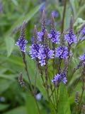 "VERBENA HASTATA ""Blue Vervain"" 100+Perennial Seeds"