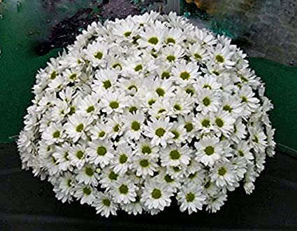 Flower seeds jamanthi poovu chrysanthemum white flower seeds easy flower seeds jamanthi poovu chrysanthemum white flower seeds easy to grow suitable for terrace gardening mightylinksfo