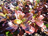 4 Bare Root of Coprosma 'Roy's Red'