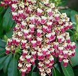 PIERIS JAPONICA 'VALLEY VALENTINE'- STARTER PLANT