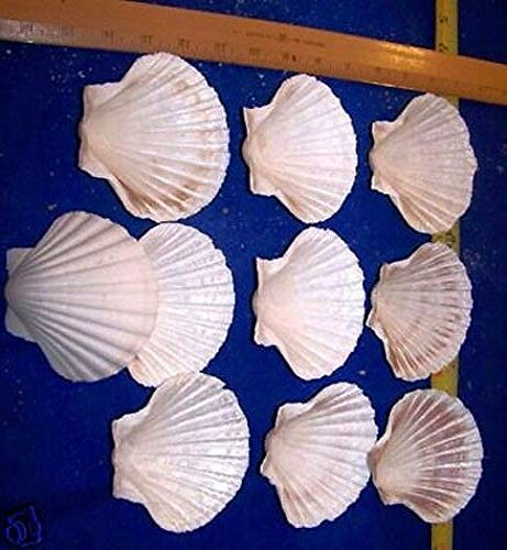 OutletBestSelling Polished Sea Shells \ Beach Shells 12-4