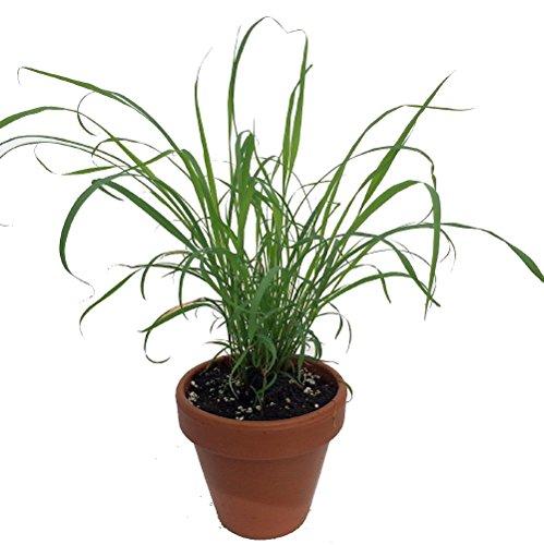 Lemon Grass Plant - 4