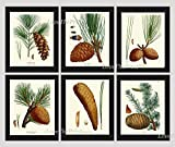 good will hunting edited - Botanical Print Set of 6 Antique Beautiful Redoute Pinecones Pine Tree Green Forest Nature Home Room Decor Wall Art Unframed