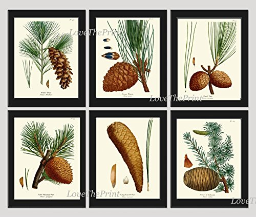 Botanical Print Set of 6 Antique Beautiful Redoute Pinecones Pine Tree Green Forest Nature Home Room Decor Wall Art Unframed - Pottery Pinecone