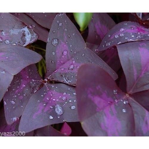 OXALIS PURPLE SHAMROCK CLOVER BULBS =2 GOOD LUCK PLANT