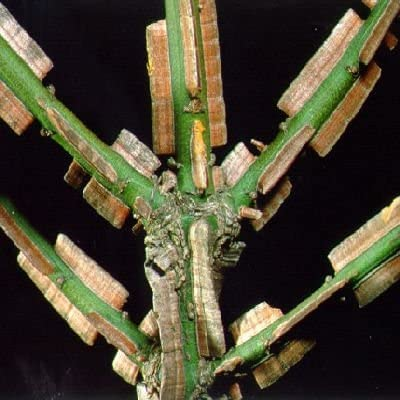 CORKED BURNING BUSH Euonymus alatus 10 seeds
