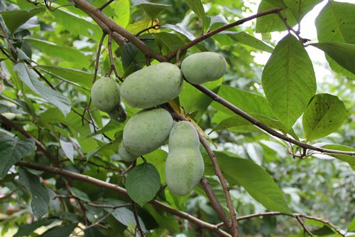 (1 Gallon) PAWPAW tree-largest edible fruit native to America aka Paw Paw tree 1813936362RR